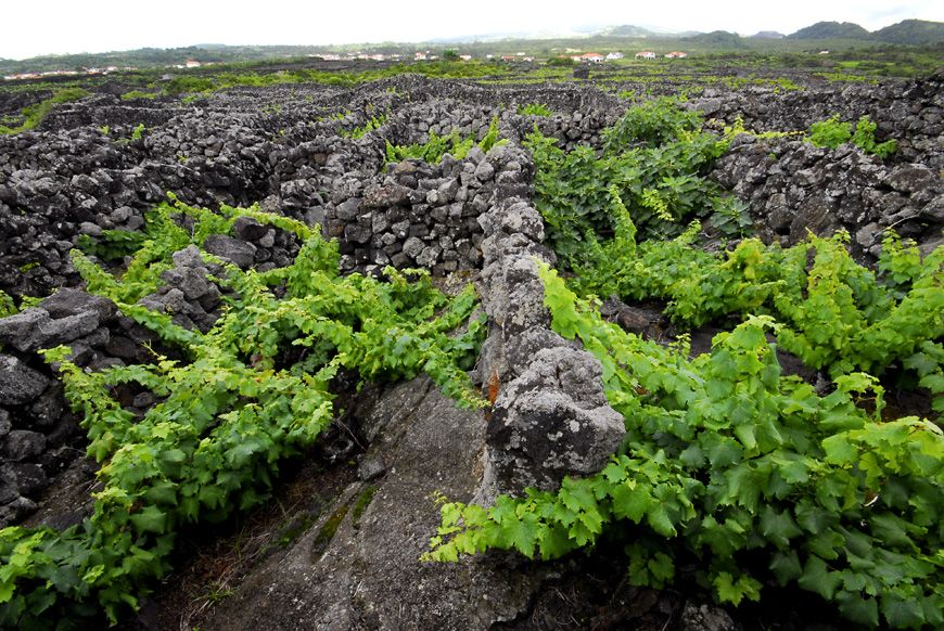 Pico Island Wine Country