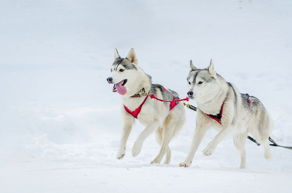 dogsled in Greenland