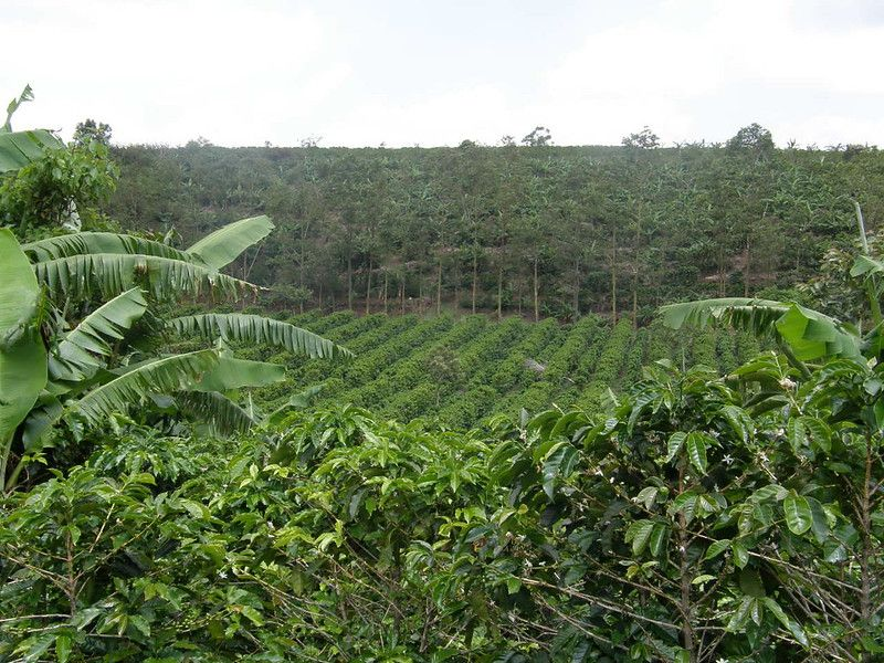 Coffee Plantation
